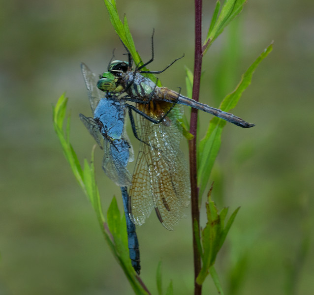 Blue Dasher eating a male Eastern Pond Hawk