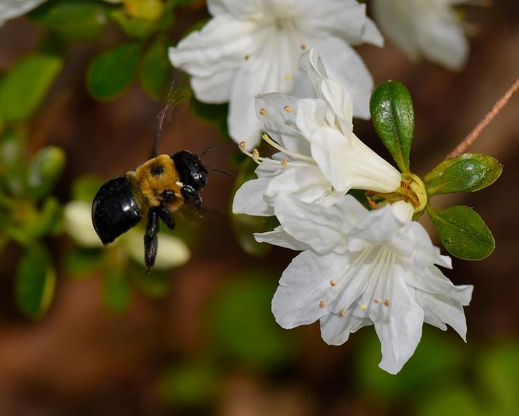 Bee  hovering over Azalea