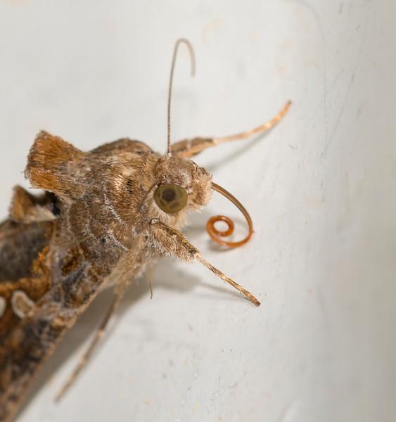 Autographa precationis – Common Looper Moth