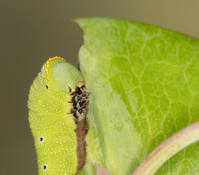 Snowberry Moth caterpillar