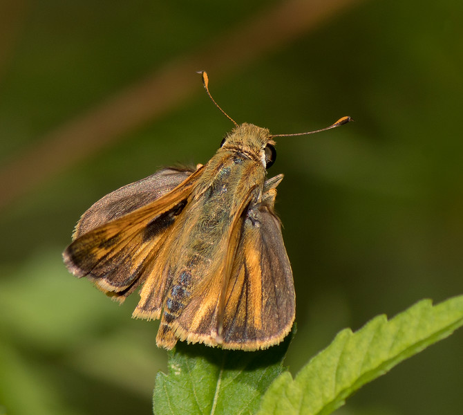 Sachem Skipper male