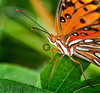 Gulf Fritillary Butterfly close up