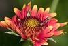 Bee on blanket Flower