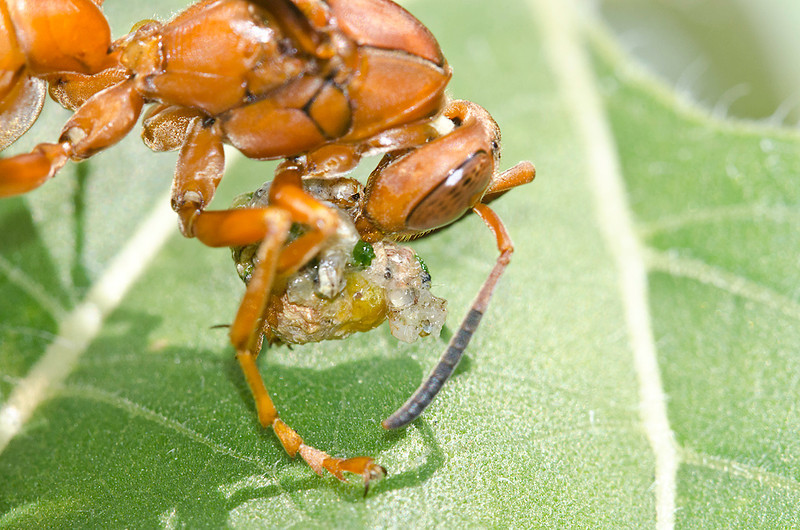 Red Paper Wasp (Polistes carolina) eating another insect