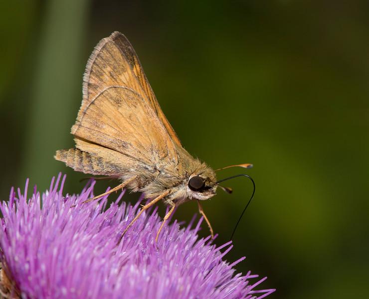 Sachem Skipper (Atalopedes campestris)
