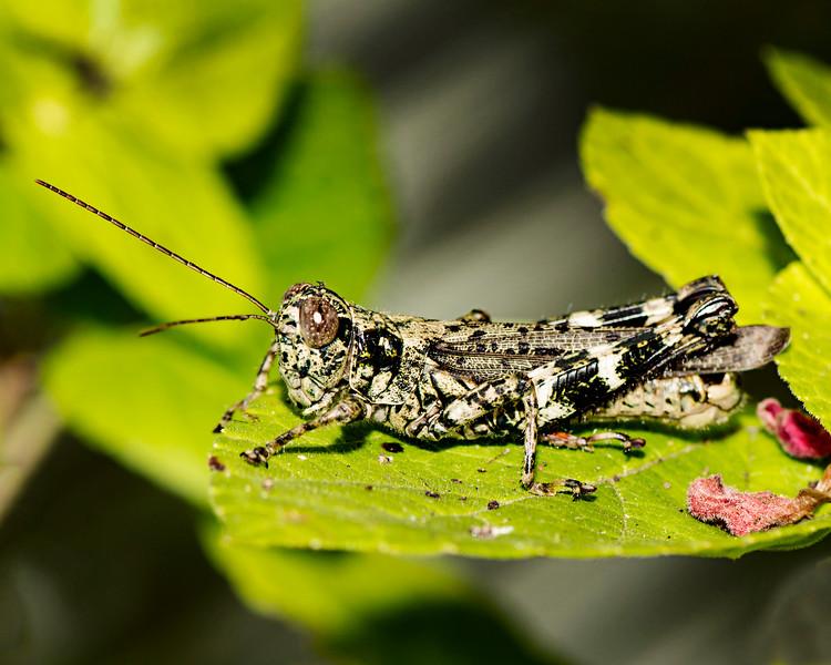 Grasshopper in camo