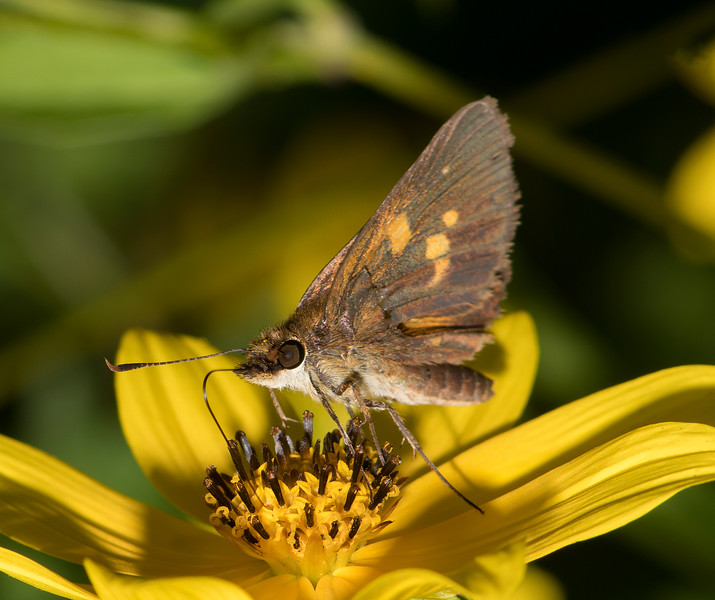 Broad-winged Skipper that has lost his left front wing so we see his right wing upper side.
