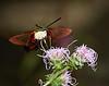 Hummingbird Moth 2Sep2015