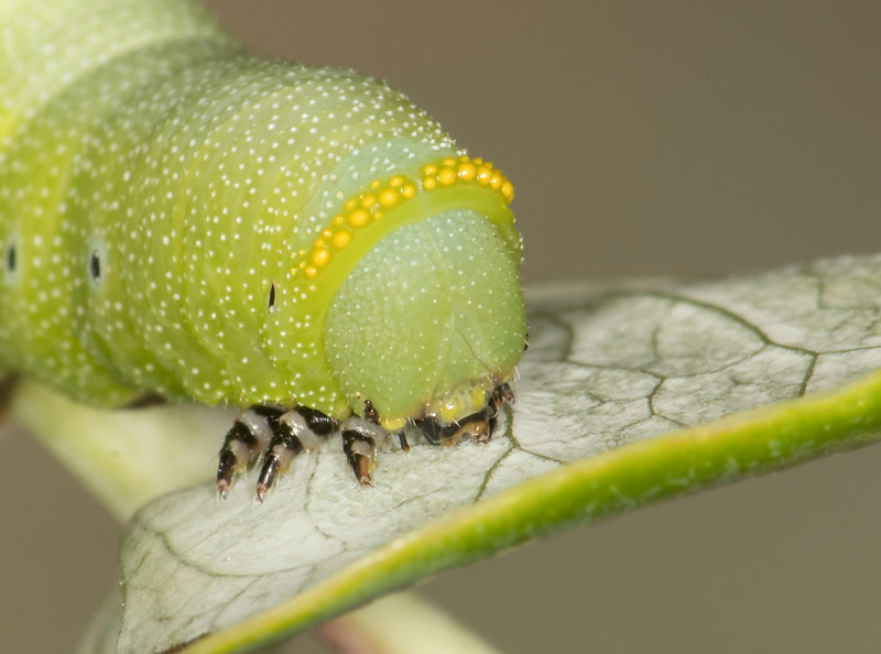 Snowberry Moth caterpillar