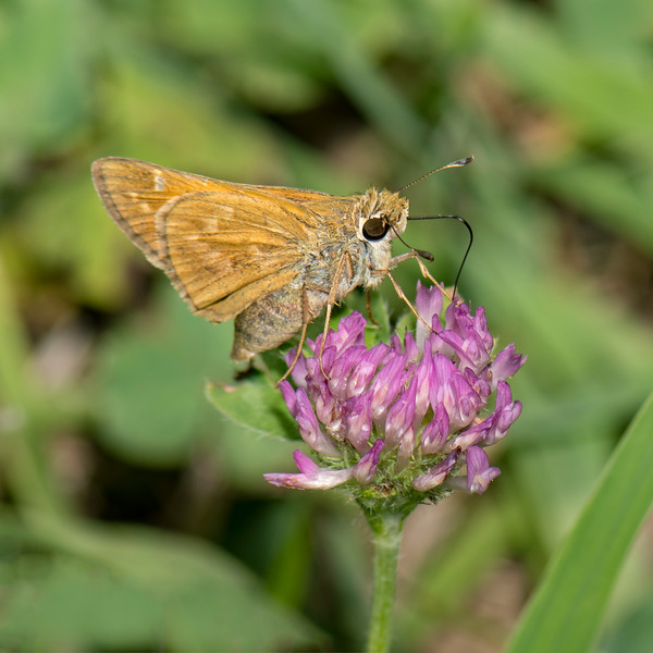 Sachem Skipper female