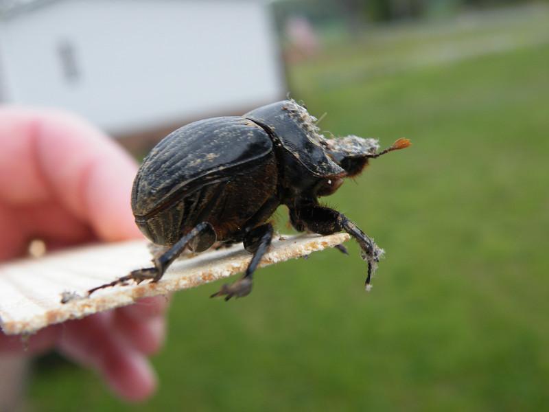 Rhinoceros beetle (Xyloryctes jamaicensis)