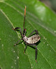 Numph of the Leaf-footed Bug