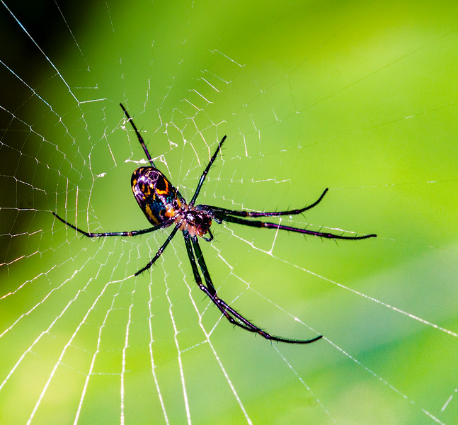 Mable Orchard Spider