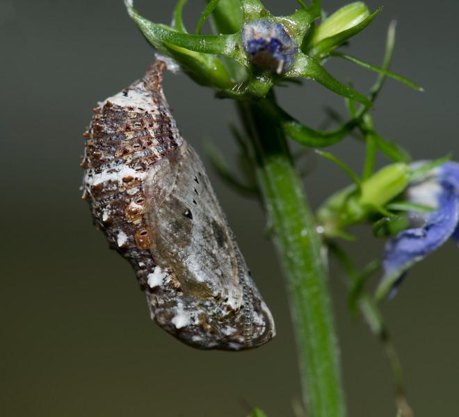 Common Buckeye caterpillar (Junonia coenia) chrysalis