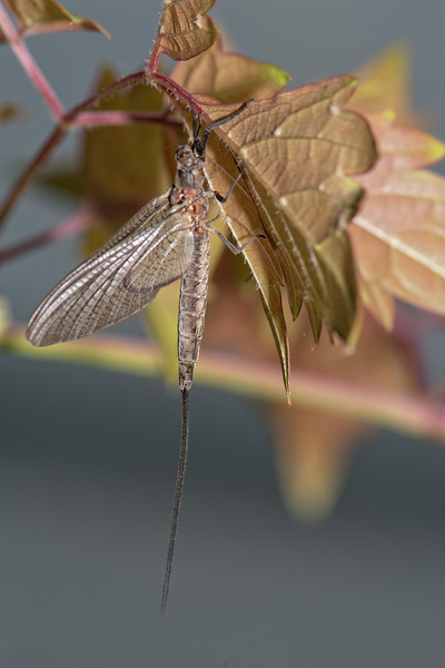 Willow Fly