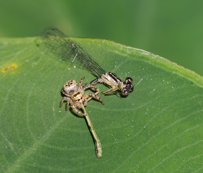 Spider eating a Damselfly