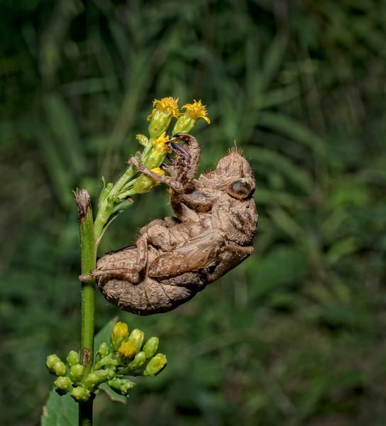 Cicade exoskelton