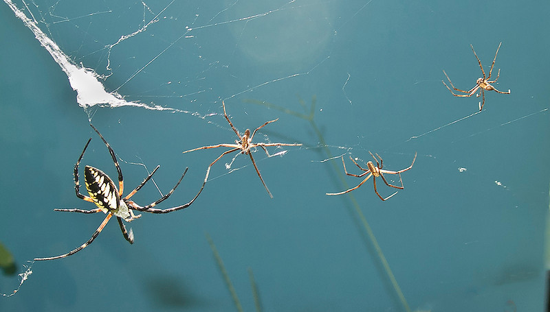 Female and three male Black  and Yellow Garden Spiders