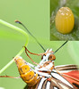 Gulf Fritillary Butterfly laying an egg and a close up of an egg.