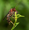 Northern Paper Wasp with nest materials