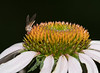 Dancing Fly on  Coneflower