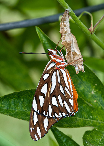 Gulf Fritillary Butterfly that has just emerged from the chrysalis