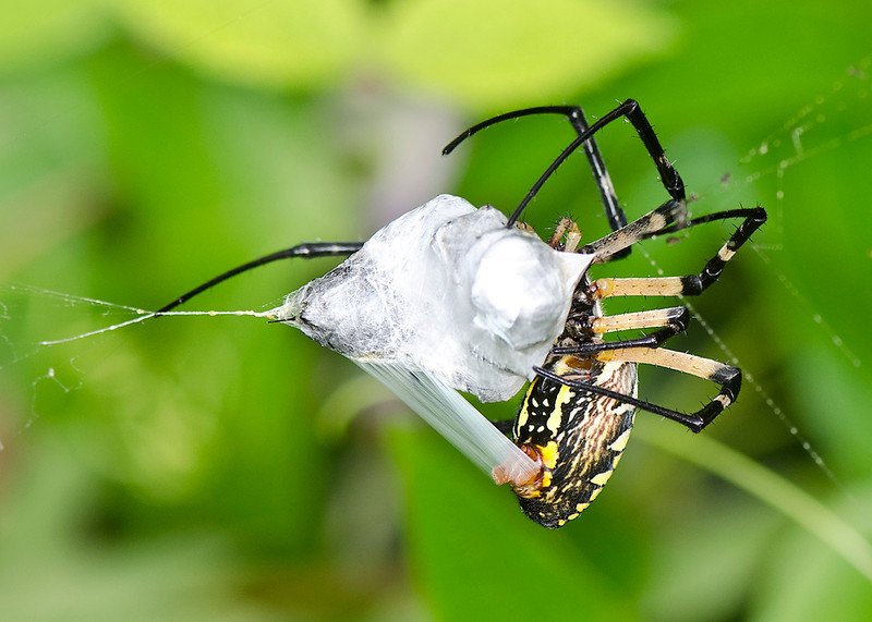 Black and Yellow Garden Spider wrapping up its prey.