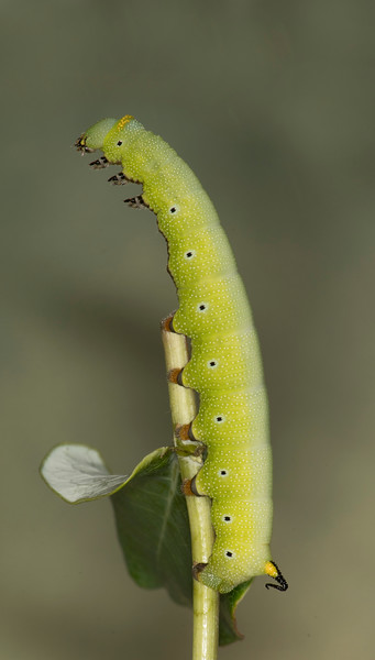 Snowberry Moth caterpillar eating its host plant,  Coral Honeysuckle