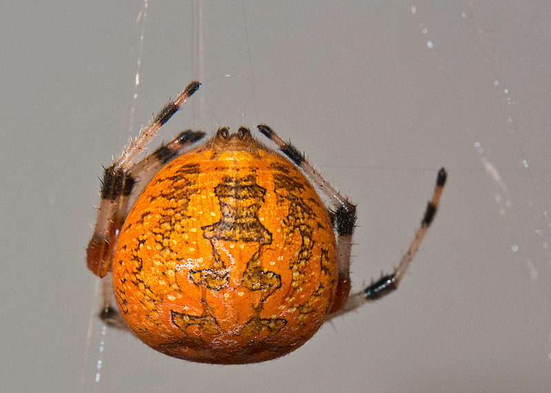 Orange Marbled Orb Weaver Spider (Araneus marmoreus)