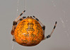 Orange Marbled Orb Weaver Spider (Araneus marmoreus)