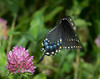 Pipevine Swallowtail taking off
