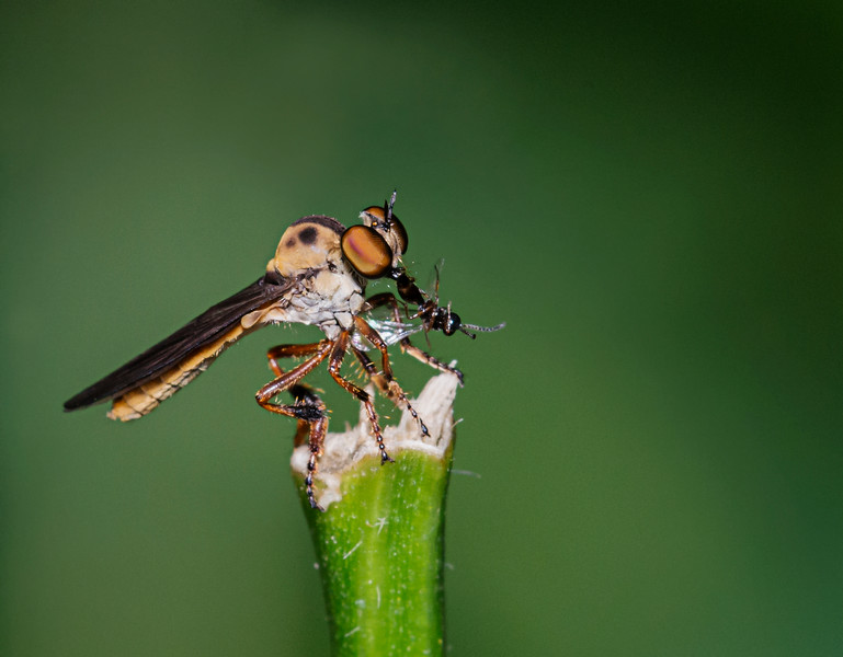 Robber Fly eating a Gnat