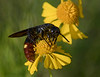 Wasp on Sneezeweed