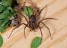 Brown Recluse Spider<br /> Loxosceles reclusa