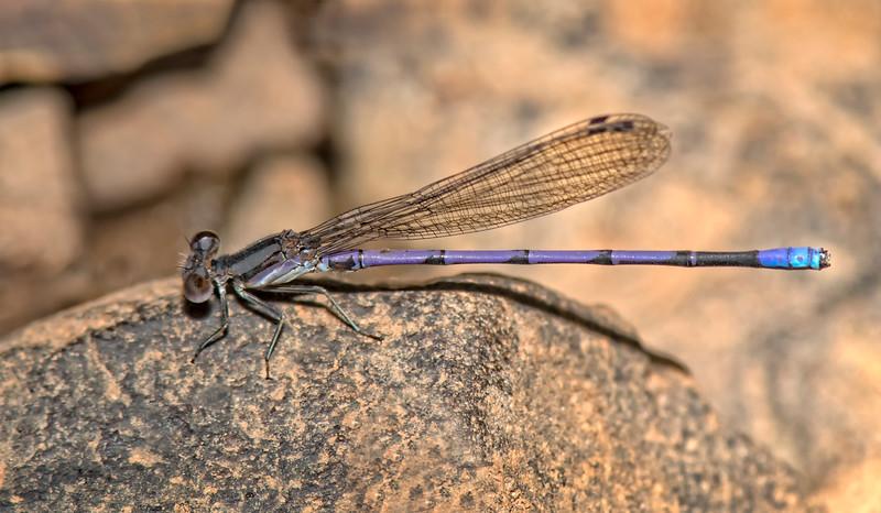 Purple Damselfly  (Argia fumipennis)