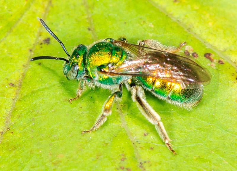 Metallic Green Bee ( Augochlora pura)