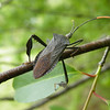 I found this Leaf Footed Bug in a tree at the edge of our field. This one is Acanthocephala terminalis.