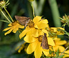 Broad-winged Skippers