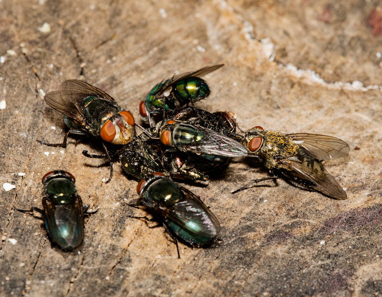 Flies eating a Japanese Beetle