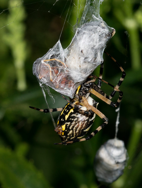 Black and Yellow Argiope Spider with Brown Paper Wasp wrapped up