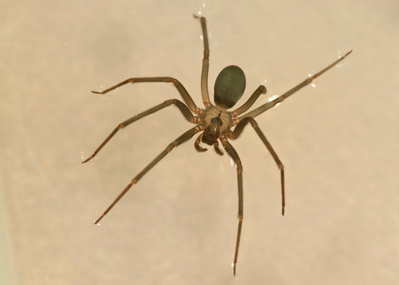 Brown Recluse Spider walking on water