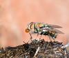 Green Bottle Fly blowing a bubble