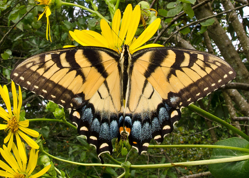 Eastern Tiger Swallowtail female light form