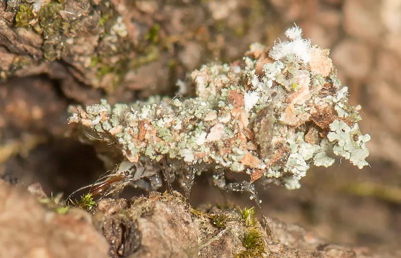 Predatory larva of the Green Lacewing (Leucochyrsa pavida)
