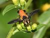 Feather-legged Fly
