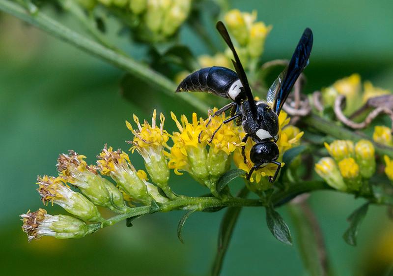 Black and White Wasp (Euodynerus bidens) 22Aug2013