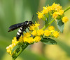 Bantailed Wasp on Goldenrod