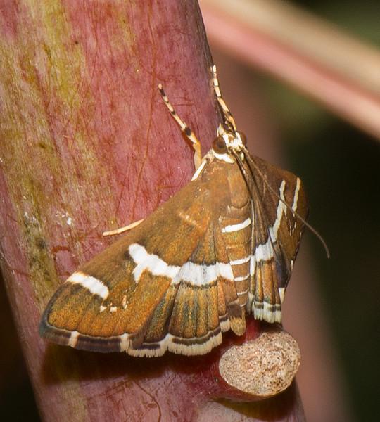 Hawaiian Beet Moth (Spoladea recurvalis)