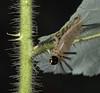 Banded Tussock Moth  (Halysidota tessellaris) caterpillar
