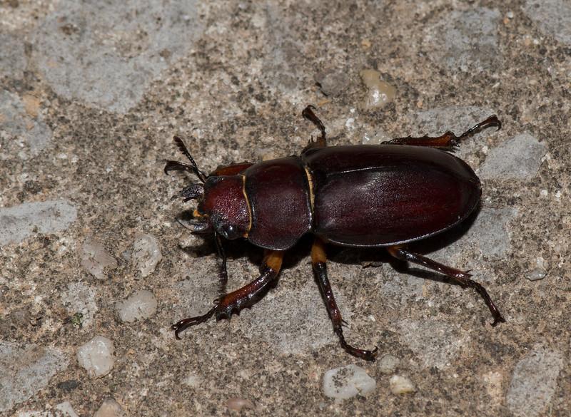 Female Stag Beetle (Lucanus capreolus)